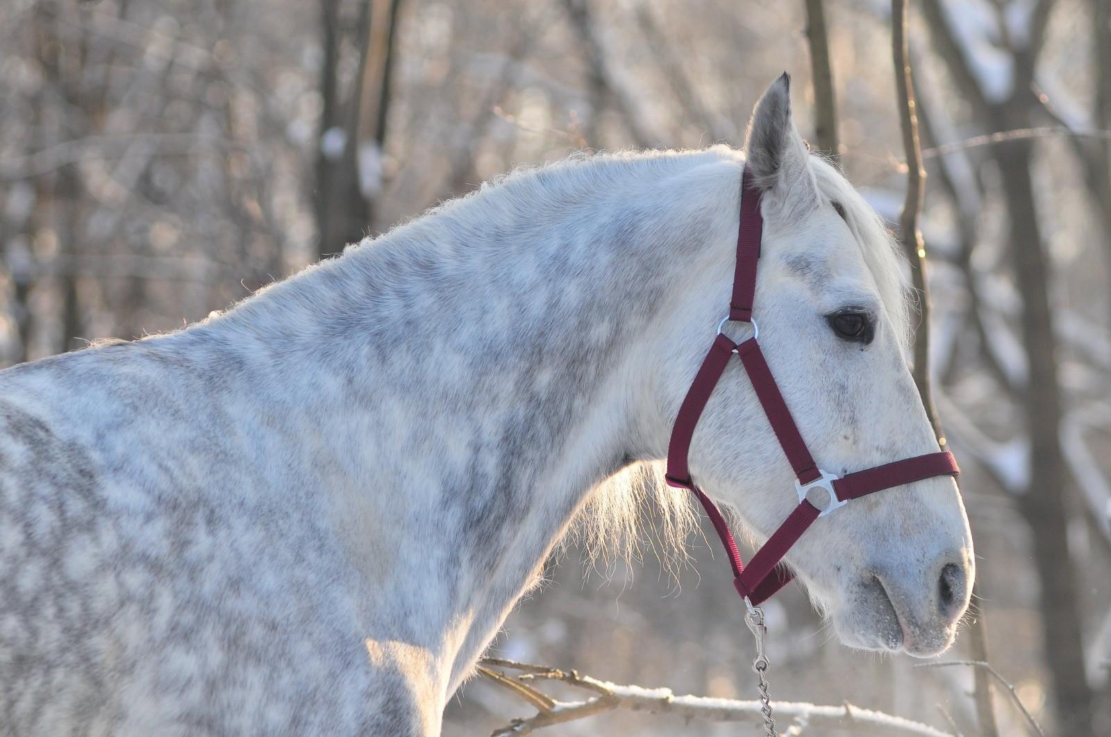 Das Pferd richtig aufhalftern
